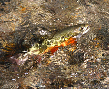 Brook trout are plentiful in Eastern streams and high-country lakes and streams in the West.