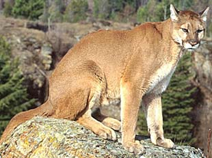 Whether you call it a puma, cougar, mountain lion or panther, it's dangerous!