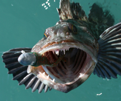 Plastics fished on leadheads attract lingcod.