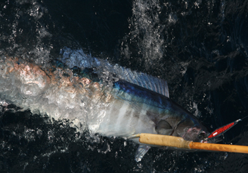 The fastest fish in the water, wahoo will make your reel sizzle like a skillet full of fajitas.