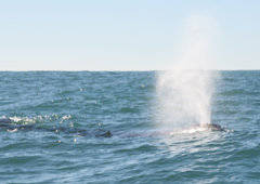 Gray whales, humpback whales, great white sharks, seabirds, harbor seals, sea lions and more can be seen on ecology trips.