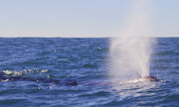 Gray whales migrate just off the coast of Half Moon Bay.