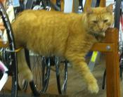 Magnus, the Lakeside Bicycles cat.