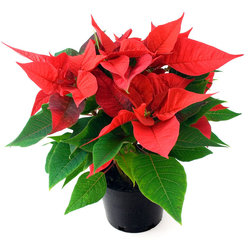 Tidal Creek Poinsettias