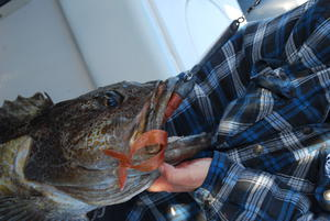 Capt. David Bacon's Lingslayer... the best lingcod lure on this planet.