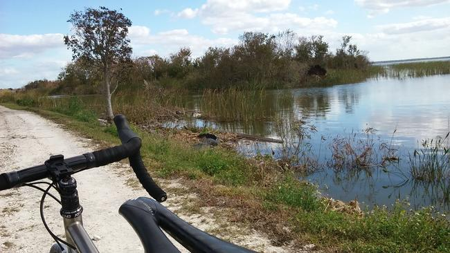 Alligators on the Lake Apopka Loop Trail