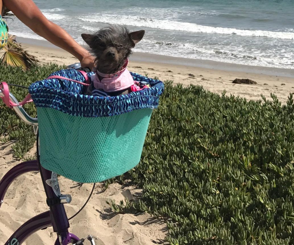 Daisy riding in a handlebar basket