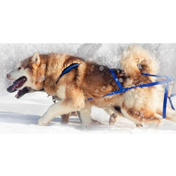Nordkyn X-Back Skijoring Harness