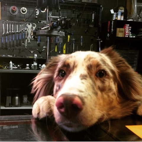 Pashley, our friendly shop dog.