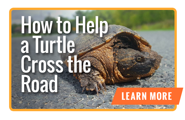 How to help a turtle cross the road.
