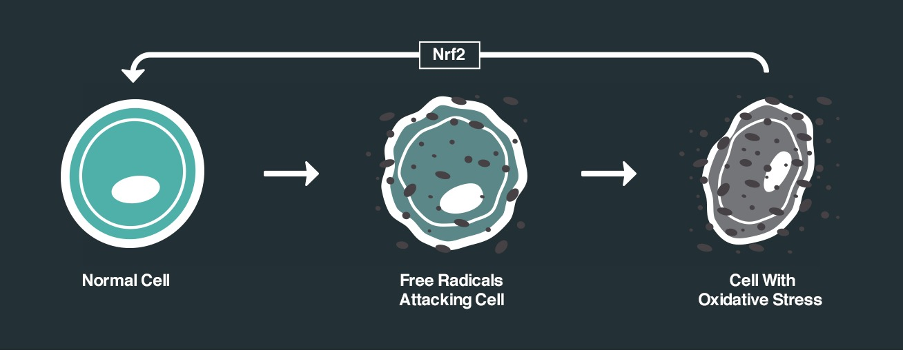 NRF2 cell process
